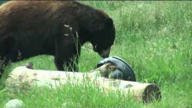 Bear Aware Garbage Can Demo