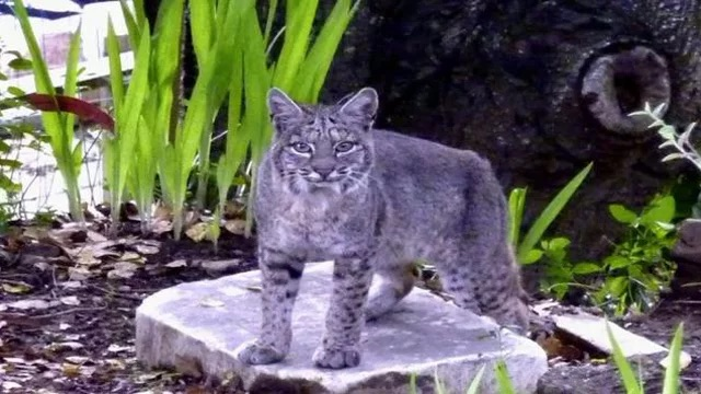 Bobcat in Mill Valley