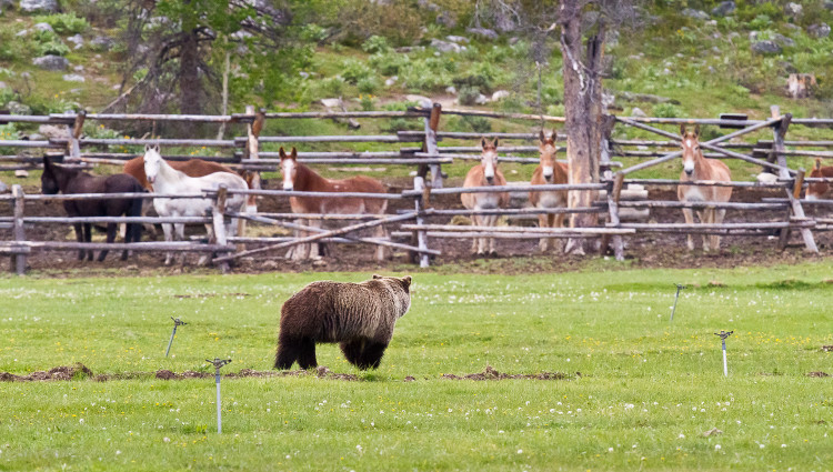 Horses Staring Down Grizzly Bear