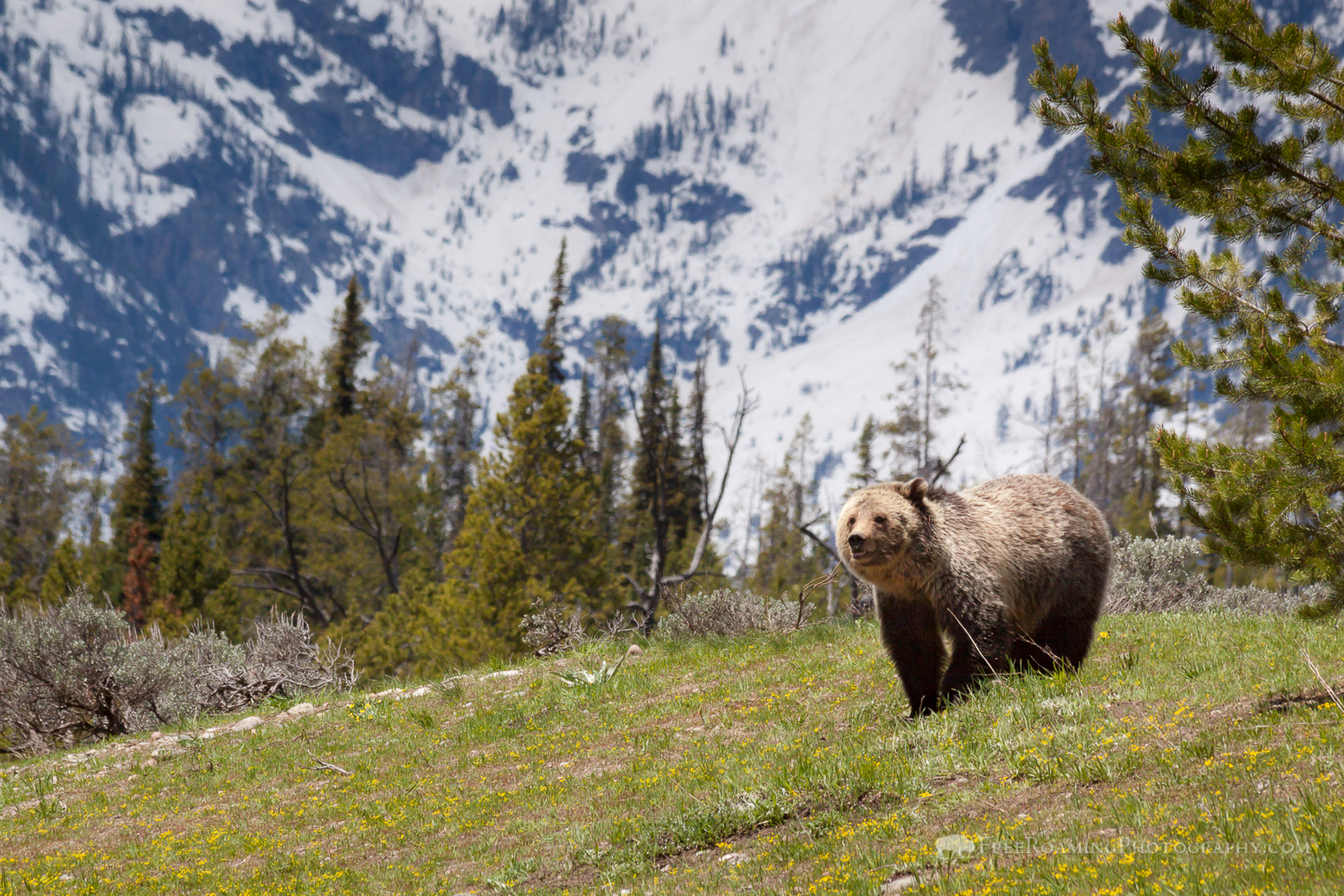 'Blondie' Grizzly Bear Of Grand Teton National Park