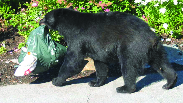 Habituated black bear