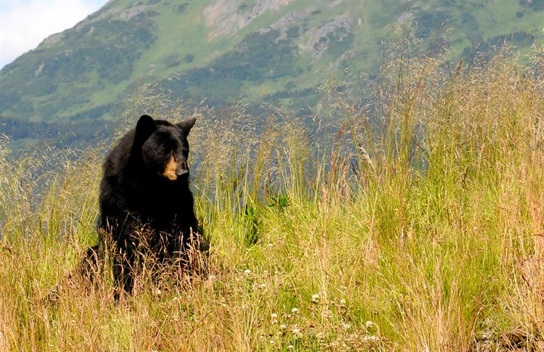GYC, Forest Service Cap $1 Million, 5-Year Project to Keep Bears Alive and People Safe